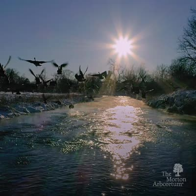 Geese on the DuPage River, video