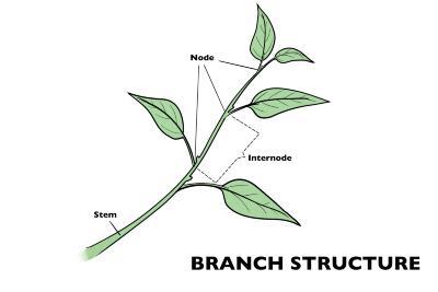 Branch Structure Illustration