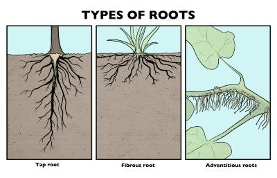 Types of Roots Illustration