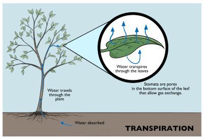 Transpiration Illustration