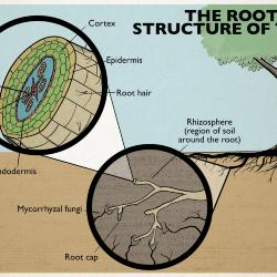 The Root Structure of Trees Illustration