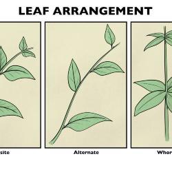 Leaf Arrangement Illustration