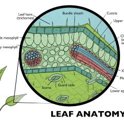 Leaf Anatomy Illustration