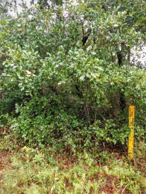 Quercus arkansana Sarg. (Arkansas oak), habit