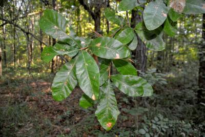Quercus oglethorpensis (Oglethorpe's oak), foliage