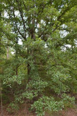 Quercus oglethorpensis (Oglethorpe oak), habit