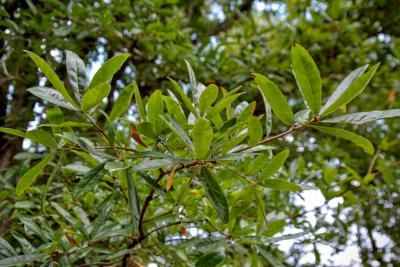Quercus oglethorpensis (Oglethorpe oak), immature fruit