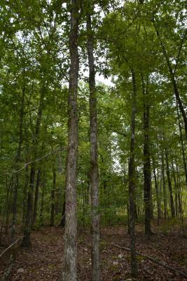 Quercus oglethorpensis (Oglethorpe oak), trunk