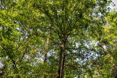 Quercus oglethorpensis (Oglethorpe oak), canopy