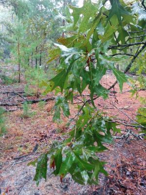 Quercus laevis Walter (turkey oak), foliage