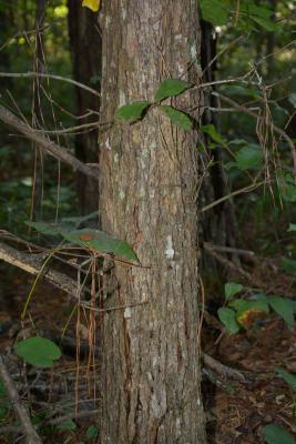 Quercus oglethorpensis (Oglethorpe oak), bark