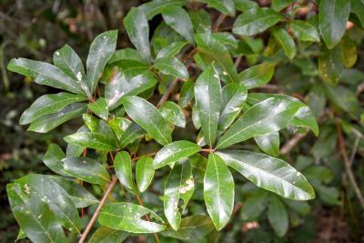 Quercus oglethorpensis (Oglethorpe oak), foliage