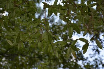Quercus phellos (willow oak), foliage