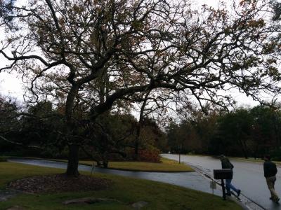 Quercus boyntonii Beadle (Boynton's sand post oak), cultivated