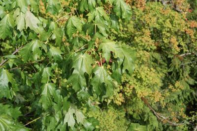 Acer macrophyllum Pursh (big-leaved maple), foliage