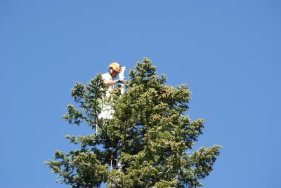Collecting Abies grandis (Dougl. ex D. Don) Lindl. (grand fir)