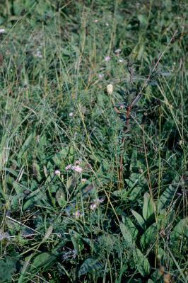Dalea candida (White Prairie Clover), habit, summer