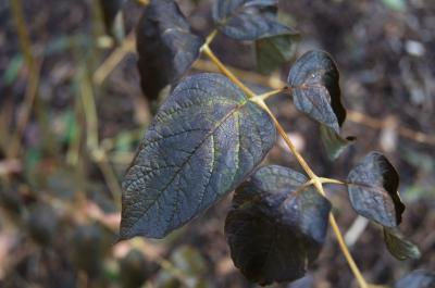 Decaisnea insignis (Blue Sausage Fruit), leaf, fall