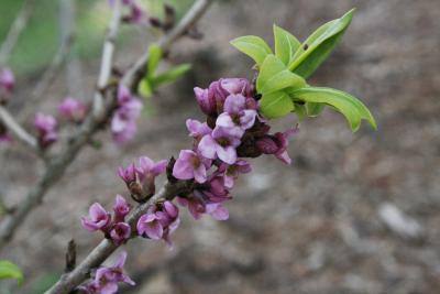 Daphne mezereum (February Daphne), flower, full