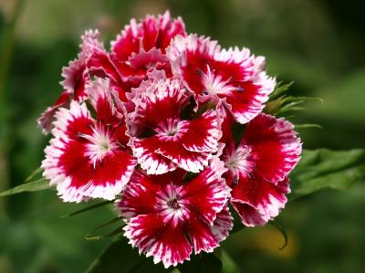 Dianthus (Pink), inflorescence