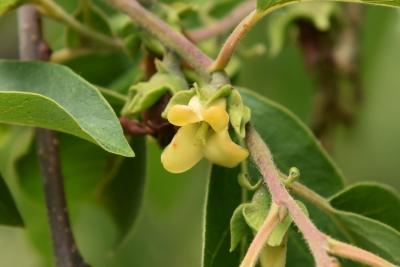 Diospyros virginiana (Persimmon), flower, full