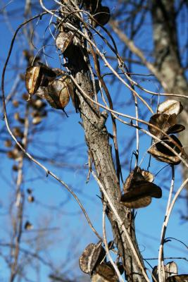 Dioscorea villosa (Wild Yam), fruit, mature