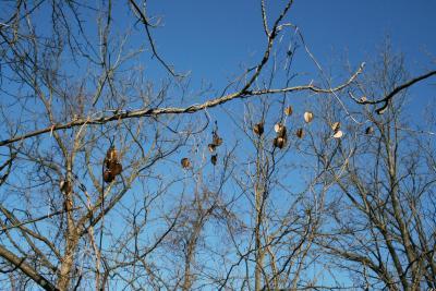 Dioscorea villosa (Wild Yam), habit, winter
