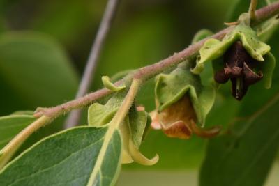 Diospyros virginiana (Persimmon), bark, twig, flower, side