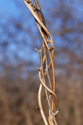 Dioscorea villosa (Wild Yam), bark, stem