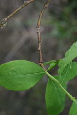 Dirca palustris (Leatherwood), bark, twig