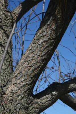 Diospyros virginiana (Persimmon), bark, branch