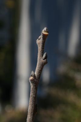 Diospyros virginiana (Persimmon), bud, terminal, bark, twig