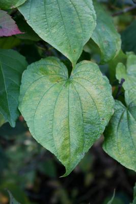 Dioscorea villosa (Wild Yam), leaf, upper surface