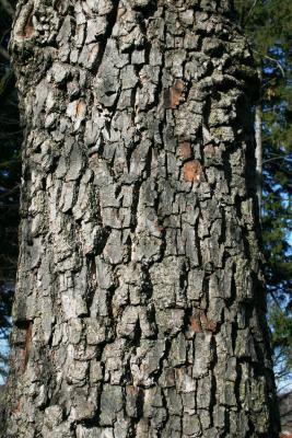 Diospyros virginiana (Persimmon), bark, trunk