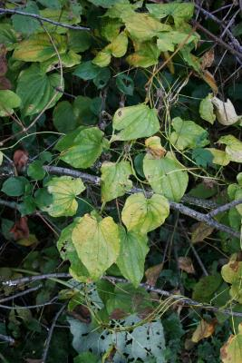 Dioscorea villosa (Wild Yam), habit, fall