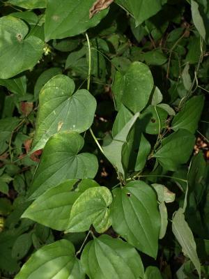 Dioscorea villosa (Wild Yam), leaf, summer