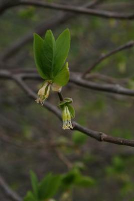 Dirca palustris (Leatherwood), inflorescence