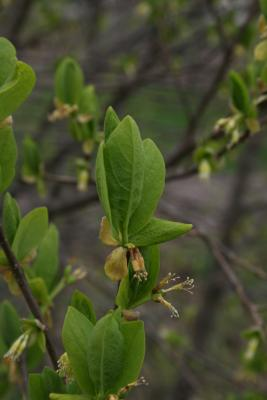 Dirca palustris (Leatherwood), leaf, spring