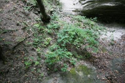Dirca palustris (Leatherwood), habitat