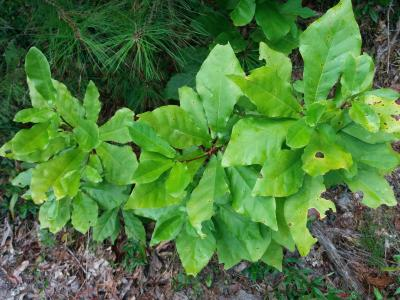 Magnolia pyramidata W. Bartram (pyramidal magnolia), foliage