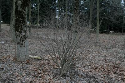 Dirca palustris (Leatherwood), habit, winter