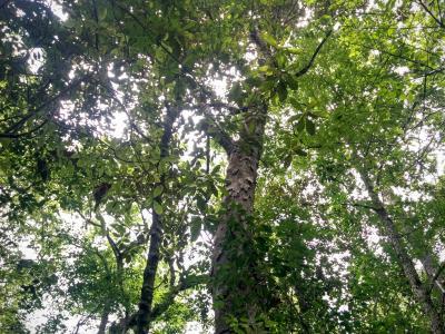 Magnolia grandiflora L. (southern magnolia), bark
