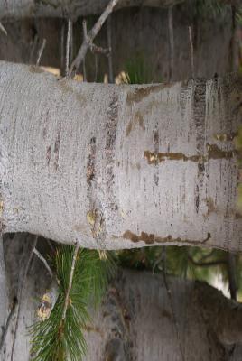 Pinus albicaulis Engelm. (whitebark pine), bark