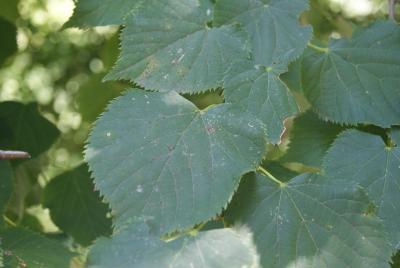 Tilia dasystyla subsp. caucasica (V.Engl.) Pigott (Caucasus linden), foliage