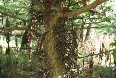 Gleditsia caspica Desf. (Caspian-locust), bark