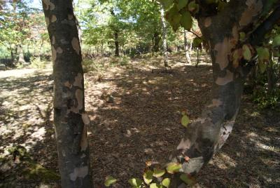 Parrotia persica (DC.) C. A. Meyer (Persian ironwood), bark