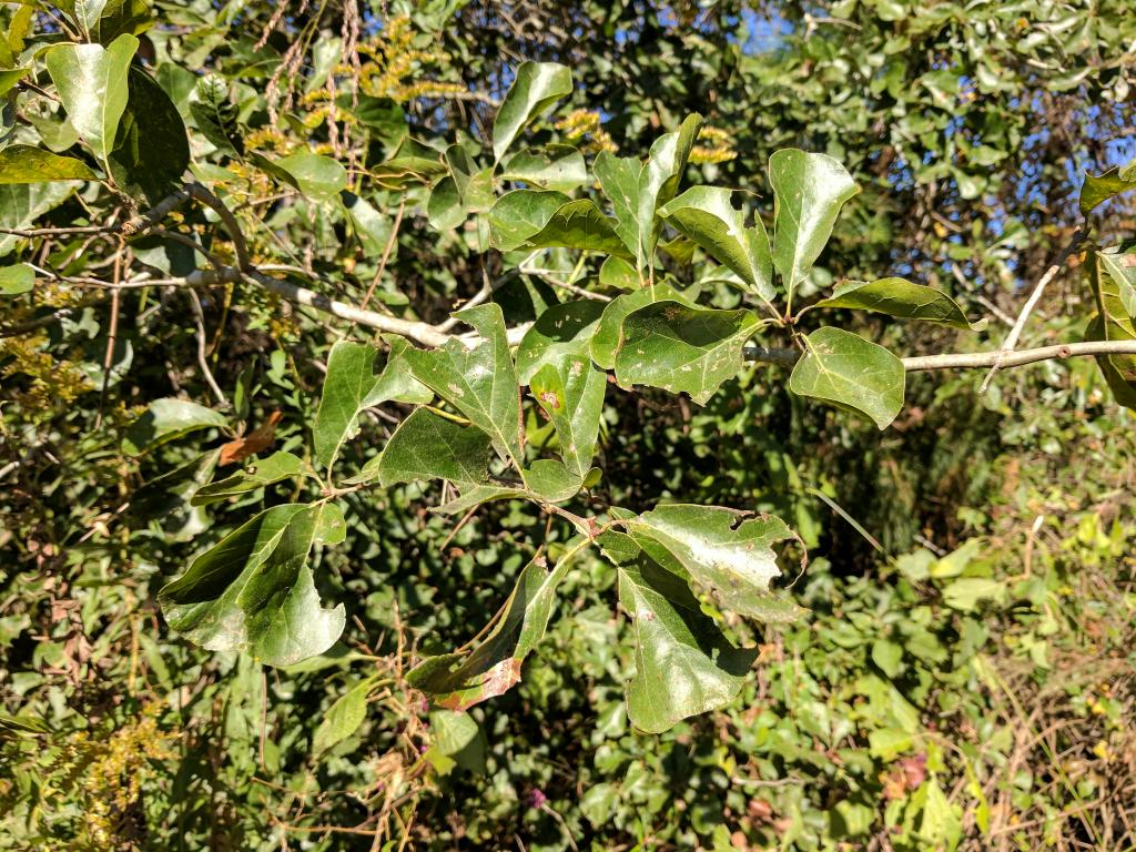 Quercus arkansana Sarg. (Arkansas oak), foliage