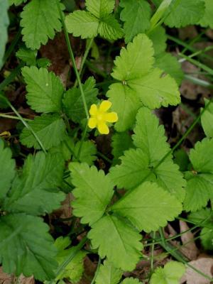 Duchesnea indica (Indian-strawberry), habit, spring
