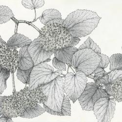 Viburnum molle [graphic] / Nancy Hart Stieber.
