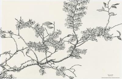 Ulmus parvifolia [graphic] / Nancy S. Hart.